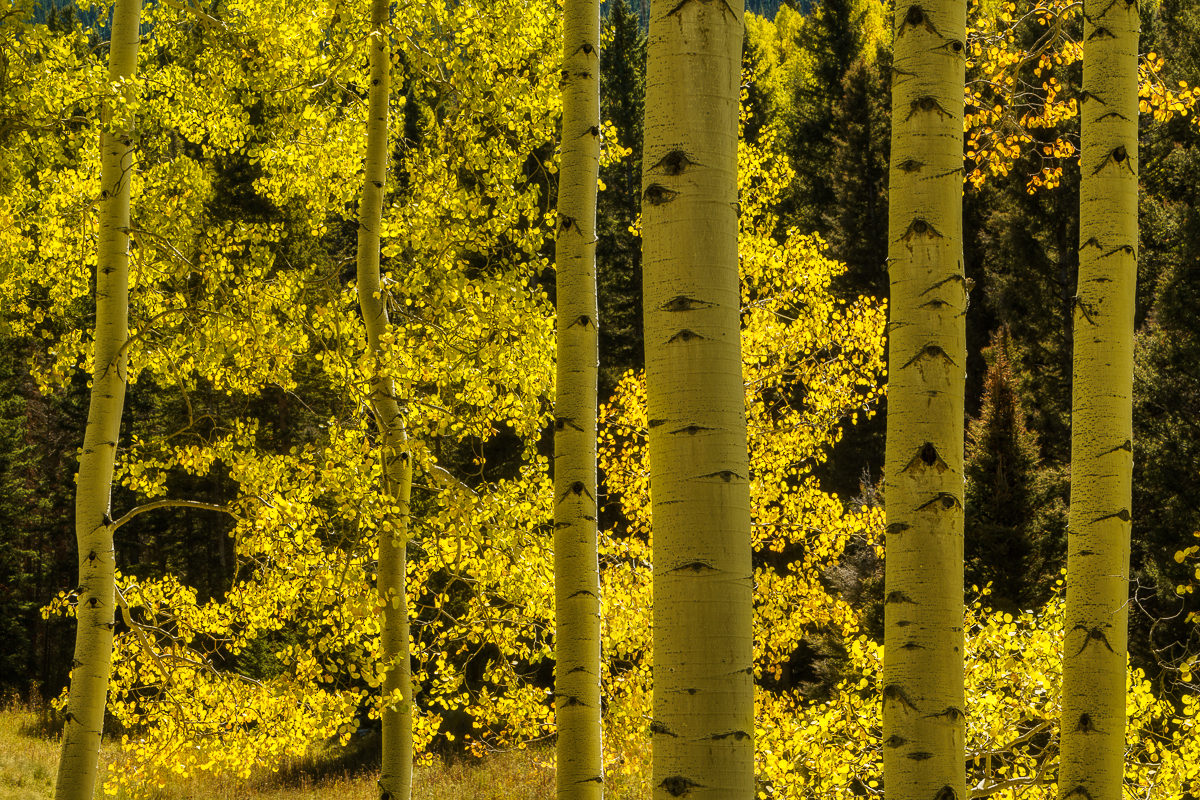 Photograph of a backlit aspen grove in autumn