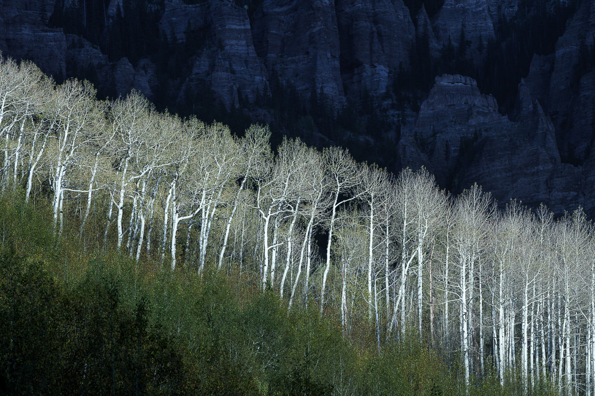 photograph of autumn aspen trees