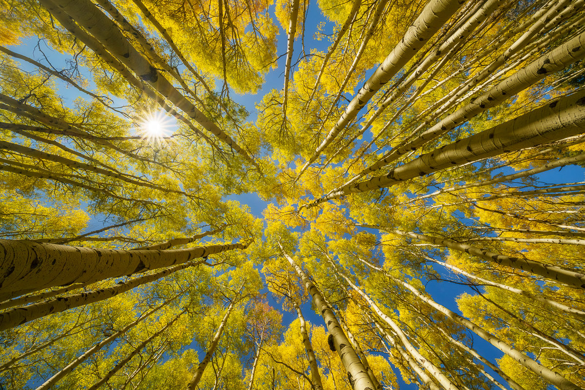 Photograph looking up through colorful aspen trees in autumn
